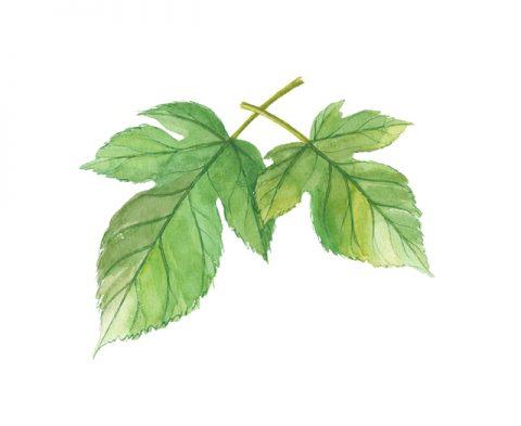 青汁原料の桑の葉